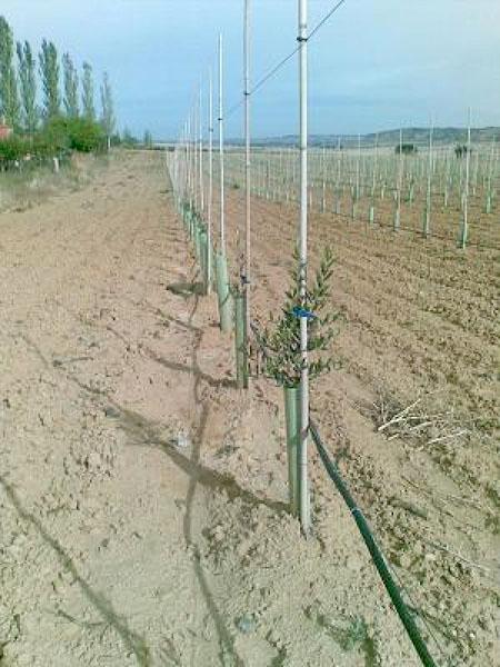 Agronec - Fruiters - Plantació oliveres