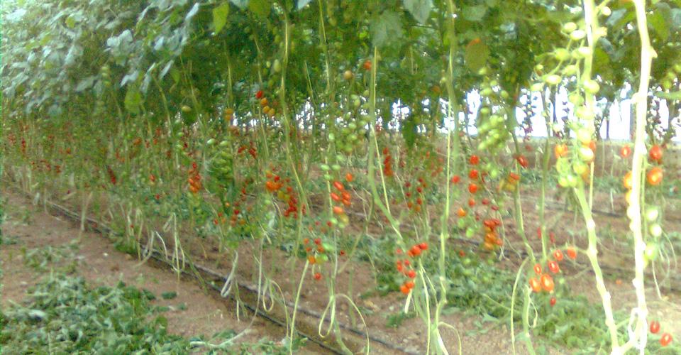 Tomaqueres Cherri